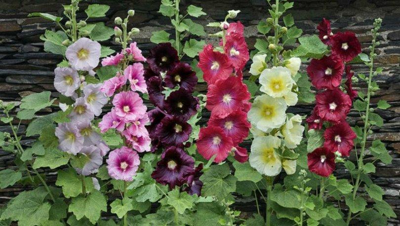 Hatmi çiçeğinin faydaları ve zararları nelerdir?