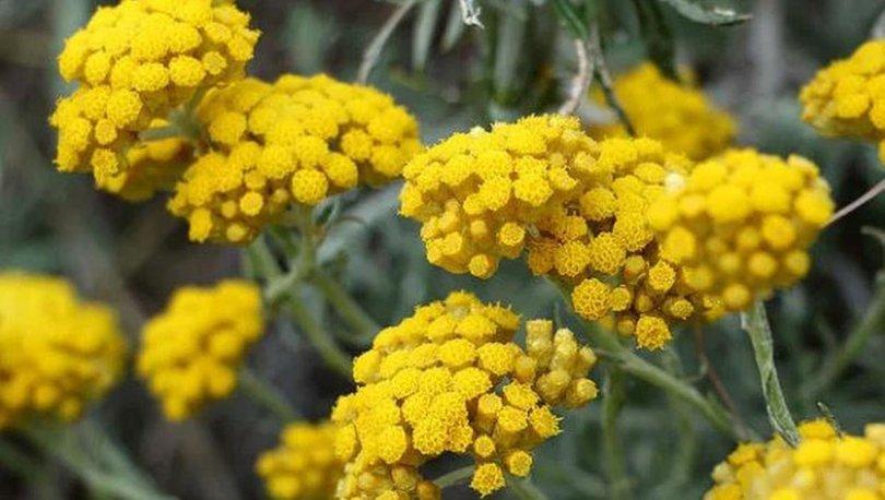 Altın otu nedir? Altın otu faydaları nelerdir?