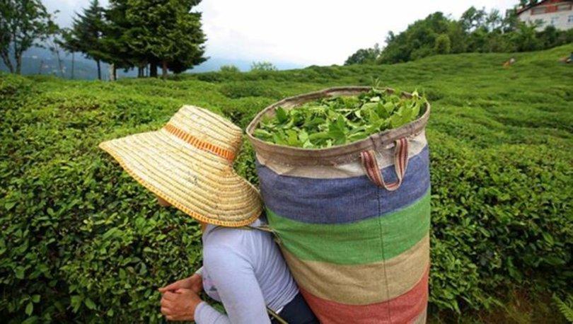 ÇAYKUR 179 bin ton yaş çay aldı