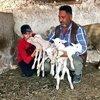 Yeni doğan kuzularına maske, mesafe ve hijyen isimlerini verdi