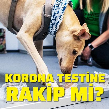 Köpekler koronavirüs testine rakip mi?