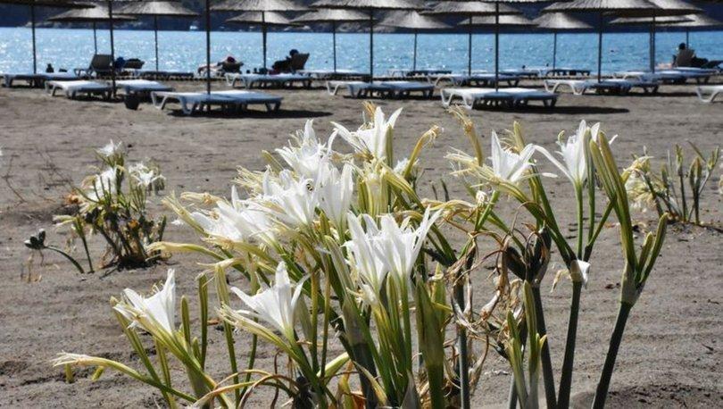 Muğla'da sahillerin gelinikumzambakları özenle korunuyor