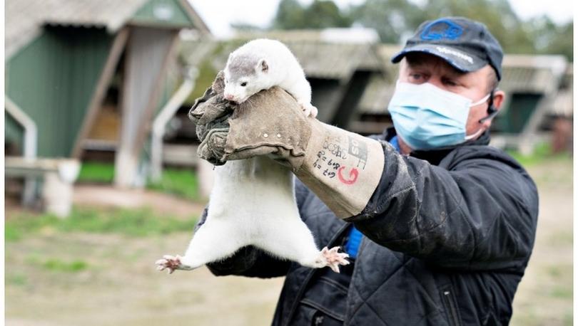 Koronavirüs: Danimarka'da hayvanlarda görülen vakalar nedeniyle 2,5 milyon vizon öldürülecek