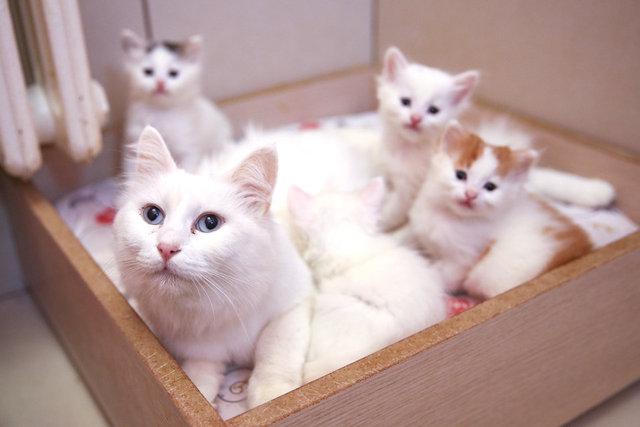 Salgın sürecinde Van kedileri uzaktan seviliyor
