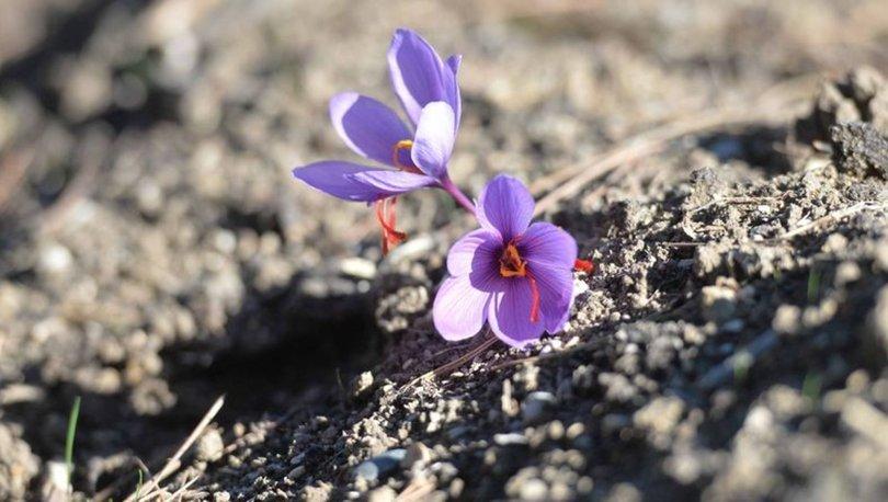 Mucize bitki safran çiçek açtı