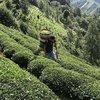 ÇAYKUR 752 bin ton yaş çay aldı