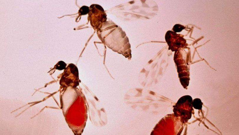 Son dakika haberi... 'Kör eden' sinek korkutuyor! 'Henüz aşısı yok'