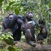 Şempanzelerle ilgili ilginç araştırma!