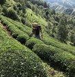 Üreticilere yaş çay ürünü için kilogram başına 13 kuruş fark ödemesi desteği sağlanacak