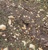 Koruma altındaki benekli Anadolu semenderi, Kahramanmaraş'ta görüntülendi