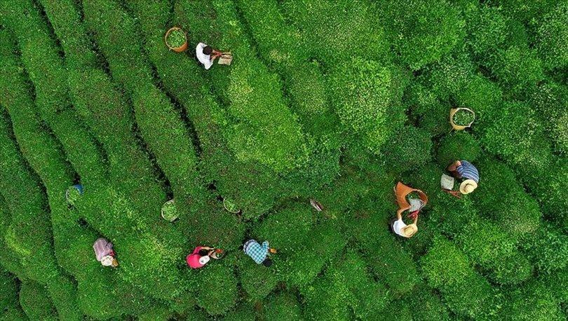 Yaş çay üreticilerine bu yılın ürünü için 13 kuruş fark ödemesi yapılacak