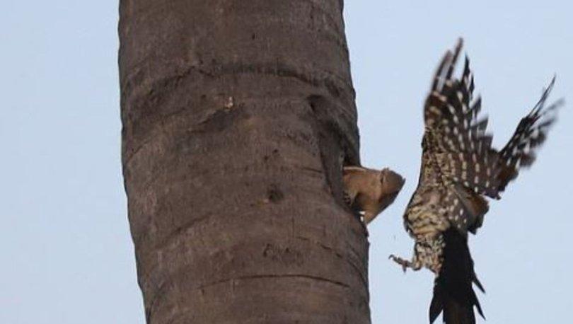 8 metrede yükseklikte sincap ile ağaçkakanın kavga anı