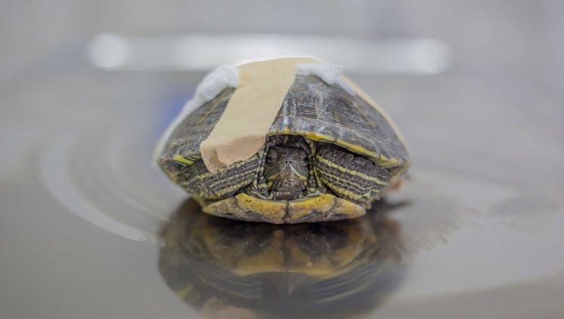 Kaplumbağa 'Tosbik' doğaya dönmek için gün sayıyor