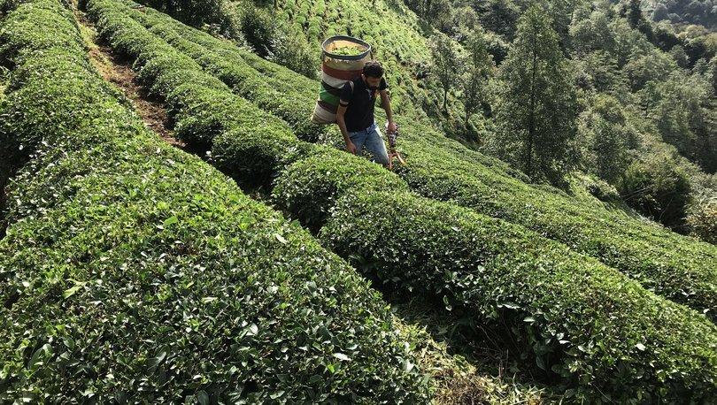 Çay ihracatının yarıya yakını Rize'den yapıldı