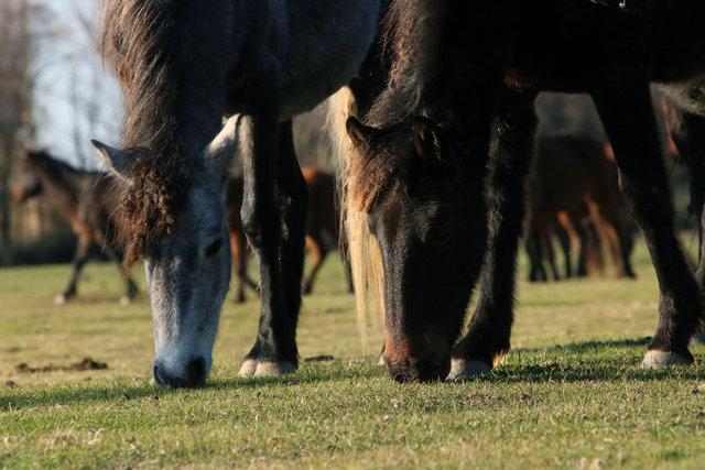 Kızılırmak Deltası'ndaki yılkı atları fotoğraf tutkunlarının gözdesi oldu