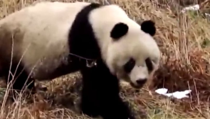 Çin'in kuzeybatısında vahşi pandalar görüntülendi