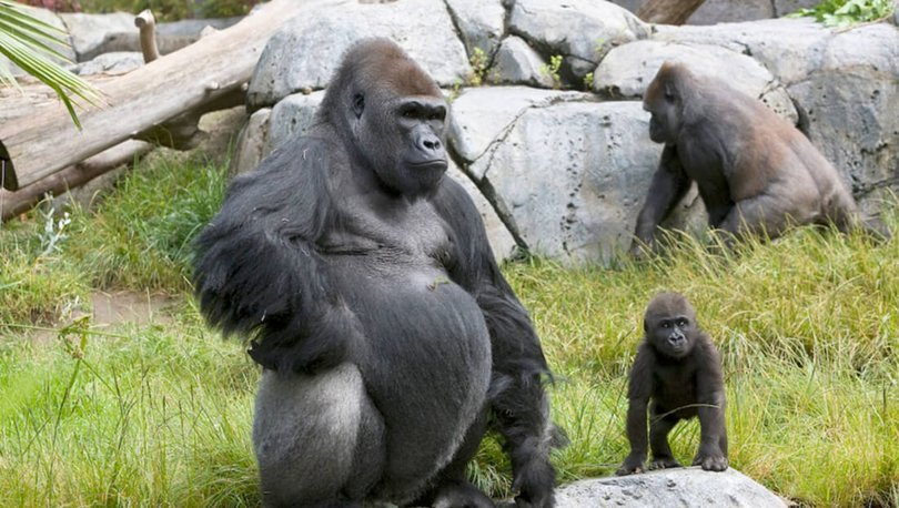 ABD'de iki gorilin koronavirüs testi pozitif çıktı