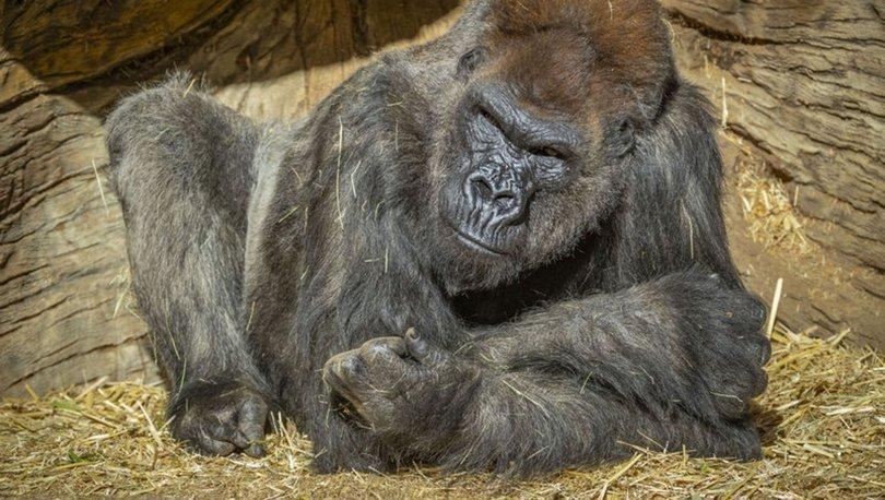 İNANILMAZ! Koronavirüs gorillerde de tespit edildi - Haberler