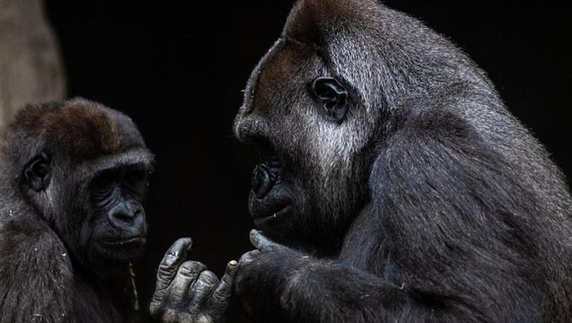 Koronavirüs ilk kez gorillerde de tespit edildi