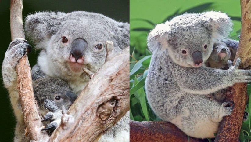 Dünyanın en yaşlı koalası Lottie'den kötü haber