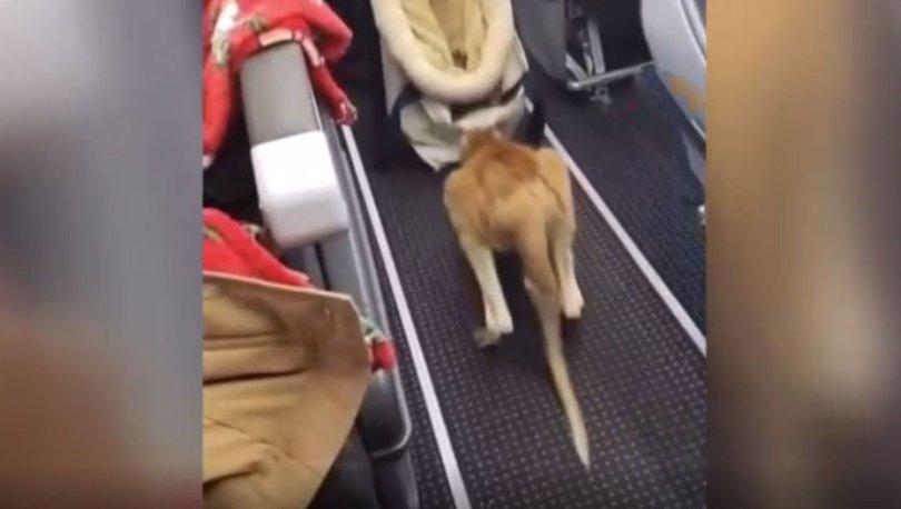 Minik kanguru uçakla seyahat etti... Viral oldu!