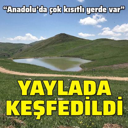 """""""Anadolu'da çok kısıtlı yerde var"""" Yaylada keşfedildi..."""