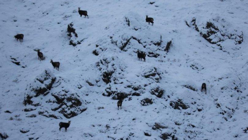 Tunceli'de koruma altındaki şamualar görüntülendi