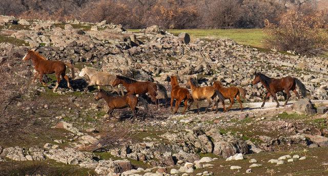 Tunceli'de yılkı atlarından görsel şölen