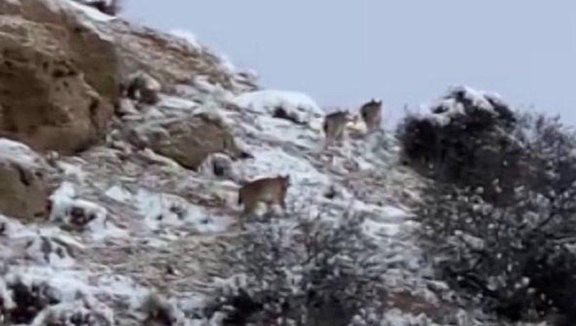 Sivas'ta üç vaşak görüntülendi