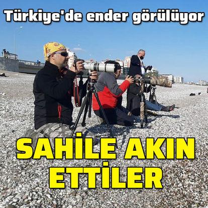 Türkiye'de nadir görülüyor... Sahile akın ettiler
