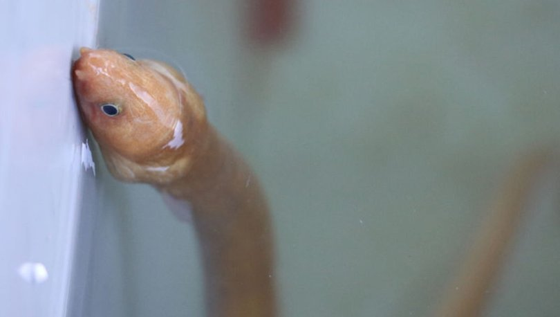 SON DAKİKA: Türkiye'de ilk kez görüntülendi! Yılan kurdu balığı...
