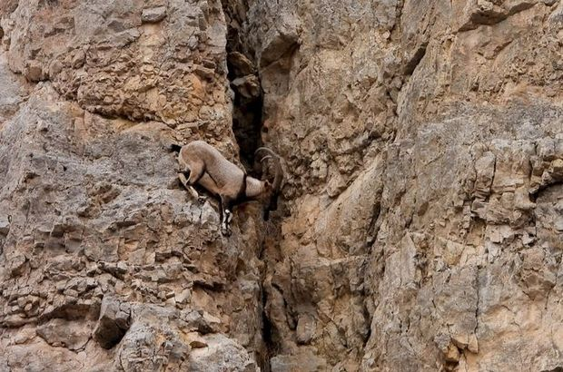 Kayaların usta tırmanıcıları böyle görüntülendi