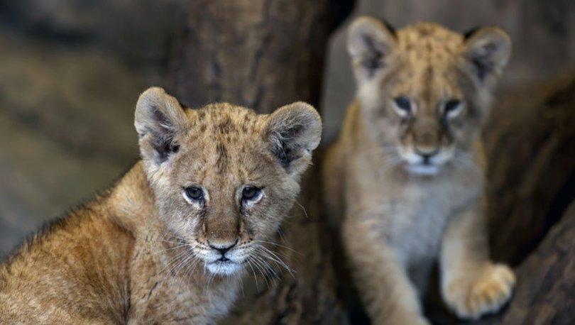 Aslan Park'tadoğan iki aslanın isimleri, oylamayla belirlenecek
