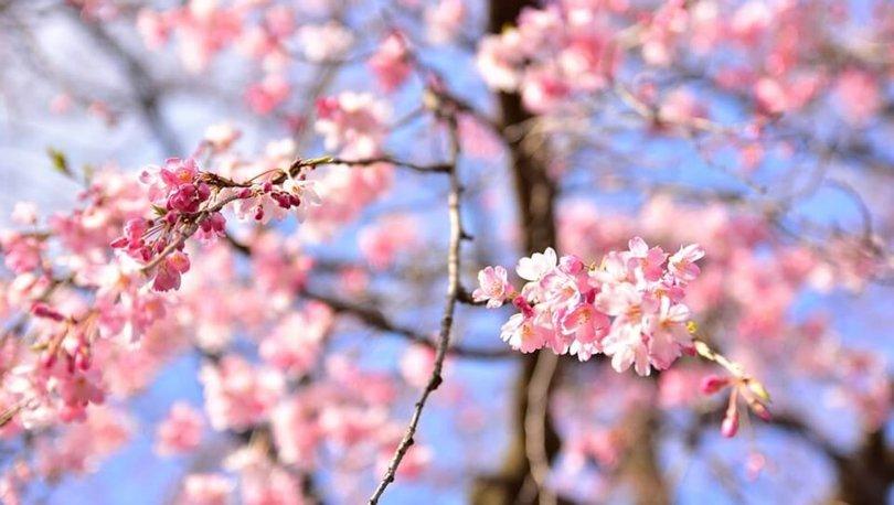 Sakura nedir, ne demek? İşte Sakura'nın Japoncadaki anlamı