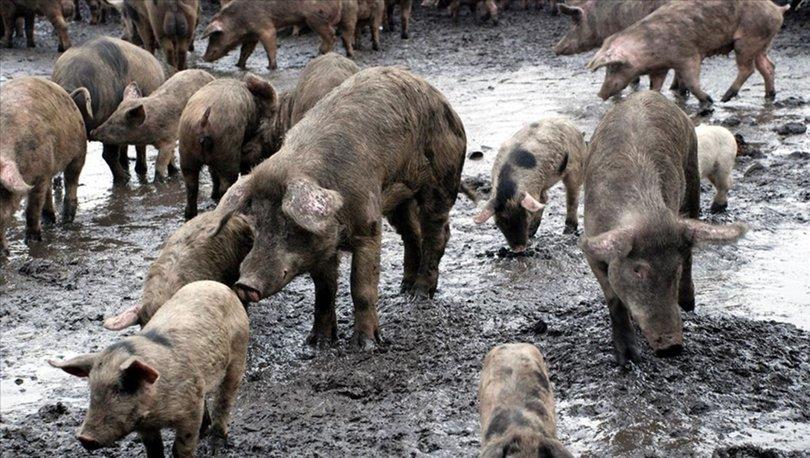 Çin'de bir çiftlikte Afrika domuz vebası tespit edildi