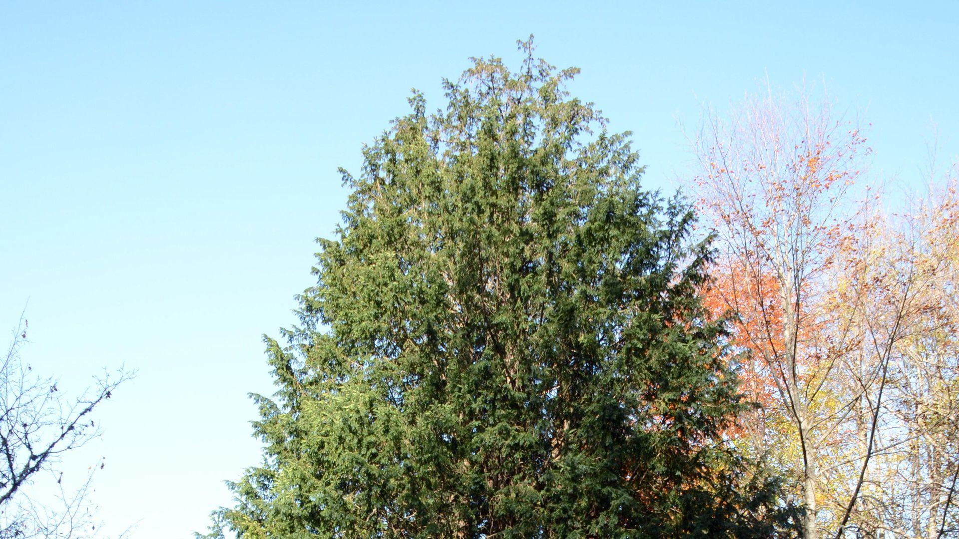 4117 yaşındaki porsuk ağacı Anıt Ağaçlar kitabına girdi
