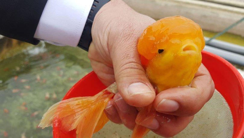 Japon balıklarındaki topakların sırrı belli oldu - Haberler