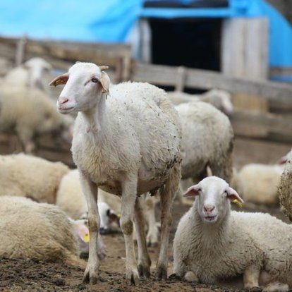 Kırklareli kıvırcık koyunu coğrafi işaret belgesiyle tescillendi