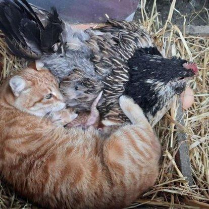 Yavru kedilerin `nöbetçi annesi´