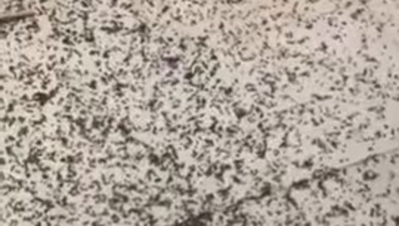 Gaziantep'te böcek istilası! İşte böcek istilası görüntüleri