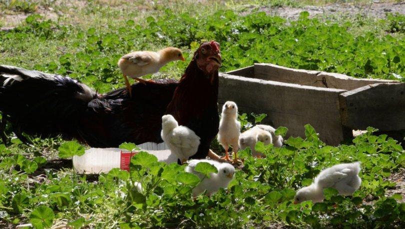 Kuluçkaya tavuk yerine oturan horoz, civcivlere annelik yapıyor