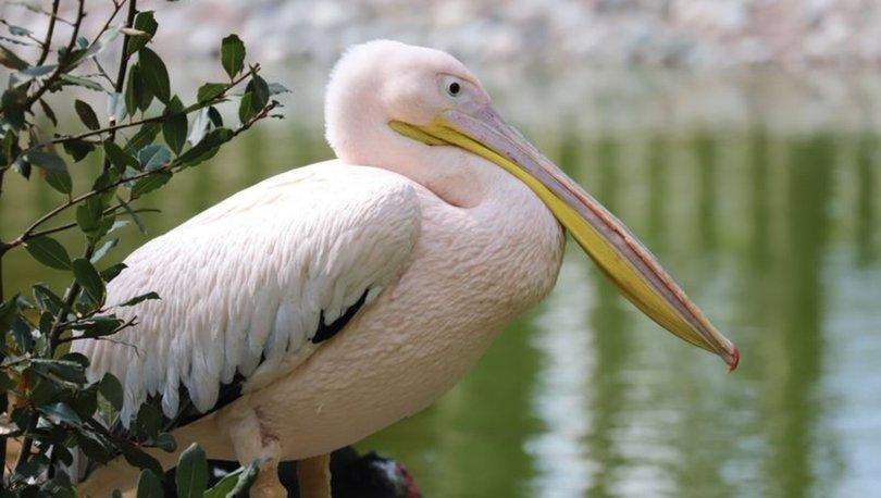Engelli pelikanların yuvası oldu