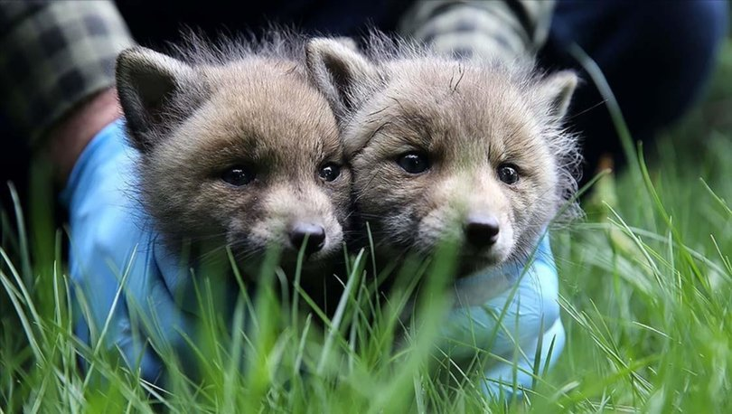 Sivas'ta köylülerin bulduğu 2 kurt yavrusu korumaya alındı