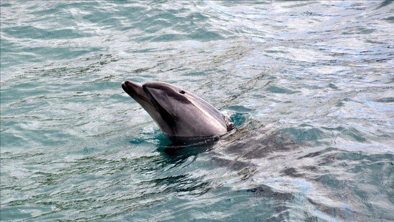 Karadeniz'de yunusların tekneyle yarışı cep telefonu kamerasıyla görüntülendi