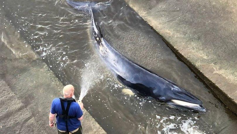 Thames nehrine giren 4 metre uzunluğundaki balina, kurtarılmaya çalışılıyor