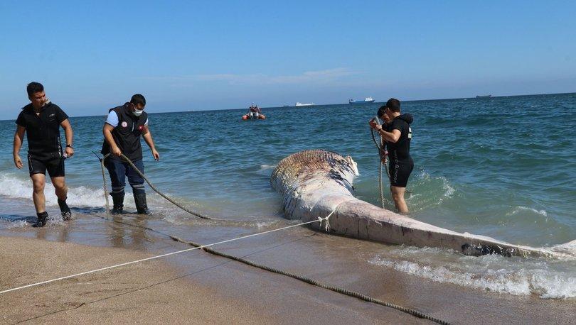 Mersin'de inanılmaz görüntü! 10 metrelik balina... - Haberler