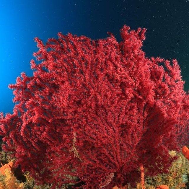 Ayvalık'ın kırmızı mercanları keşfedilmeyi bekliyor