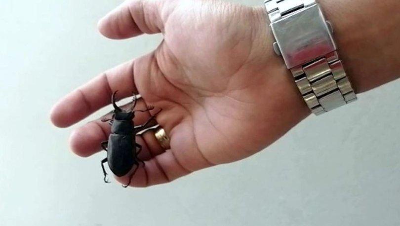 Nesli tükenme tehlikesi altındaki geyik böceği, Bodrum'da görüldü