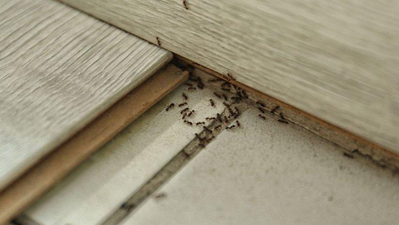 Karıncaların girdikleri yollara serpin ve bekleyin...