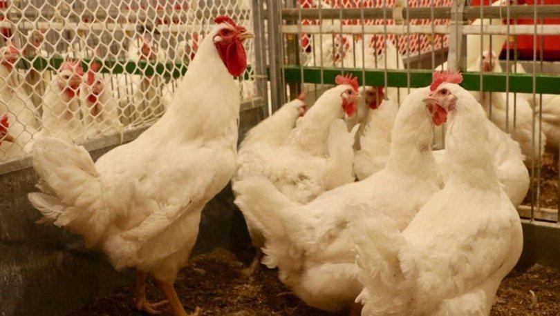 Yerli etçi tavuk geliştirildi